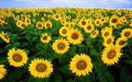 Aromatherapy: Field of sun-flowers; sunflower oil